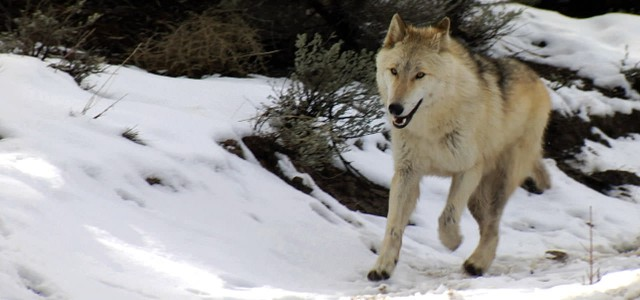 wolf running in the snow - Taming the Wolf